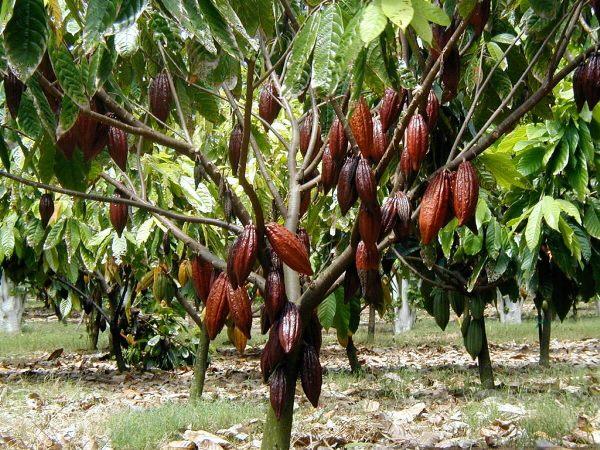 плоды какао дерева