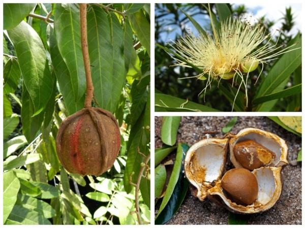 цветы, орехи и семена андиробы